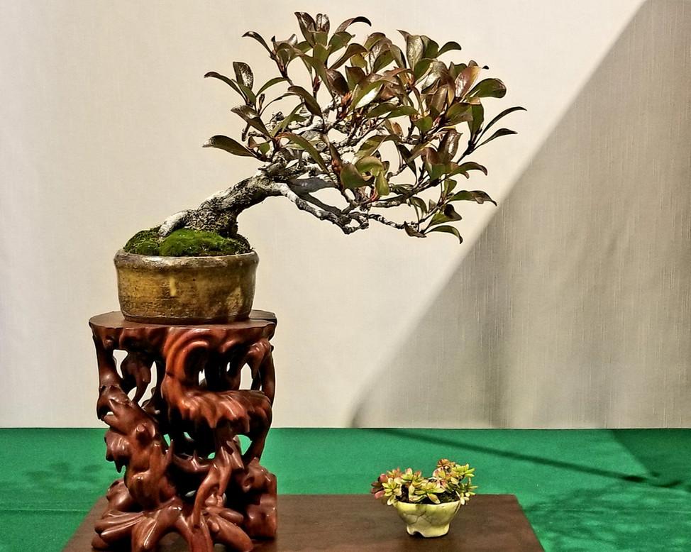 Indian Hawthorne
