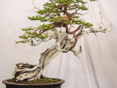 California Bonsai Society Visiting Artist Program: Todd Schlafer Nov. 15-22