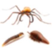 Vatesus beetles