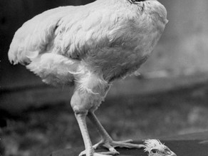 El pollo Mike