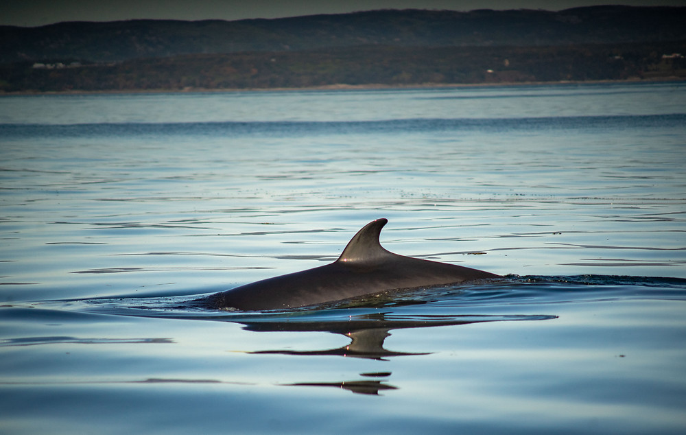 Minke Whale on Whale Watching Tour in Quebec Canada