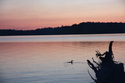 Loon swims by in Ontario Wilderness.