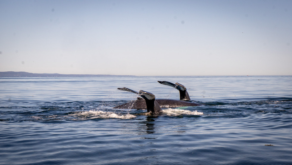 Witness these magnificent giants by Zodiac in the ultimate whale watching location in Canada, if not the world