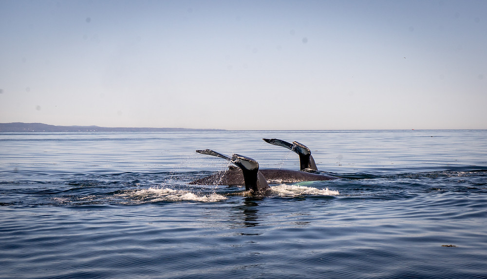 Two whales show their tails while whale watching in Tadoussac Quebec