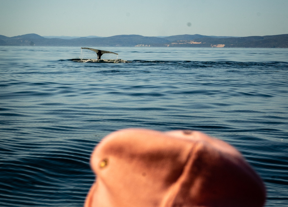 Go whale watching in the best location in Canada – see these magnificent giants up close
