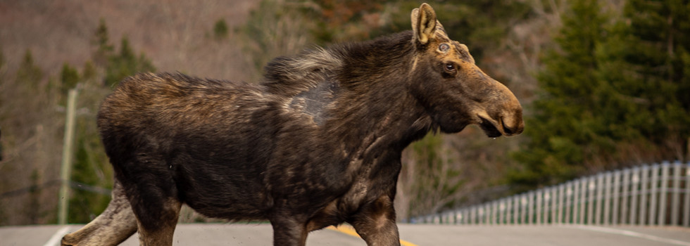 Incredible opportunities to witness wildlife like the infamous moose