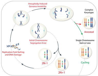 Aneuploidy triggers genomic instability. Thisultimately leadsto the evolution of cells with complex karyotypes that are cleared by immune cellsin vitro.