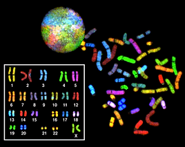 Genome integrity is maintained through faithful chromosome segregation at each cell division, in which one copy of a duplicated chromosome is deposited in each daughter cell.