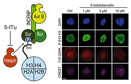 The Santaguida lab studies the consequences of chromosome segregation errors on cell physiology