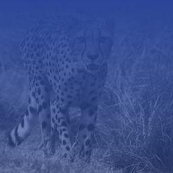 cheetahrec.jpg