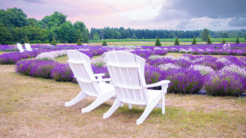 Fragrant Isle Lavender Field at Washing Island - a dream location for photographers