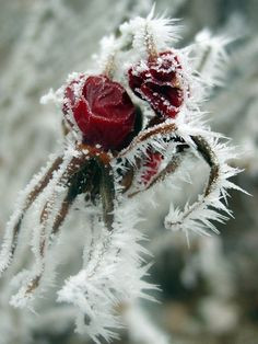 Rose covered in hoarfrost.