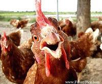 Funny chicken.jpg
