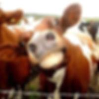 Funny cow.jpg
