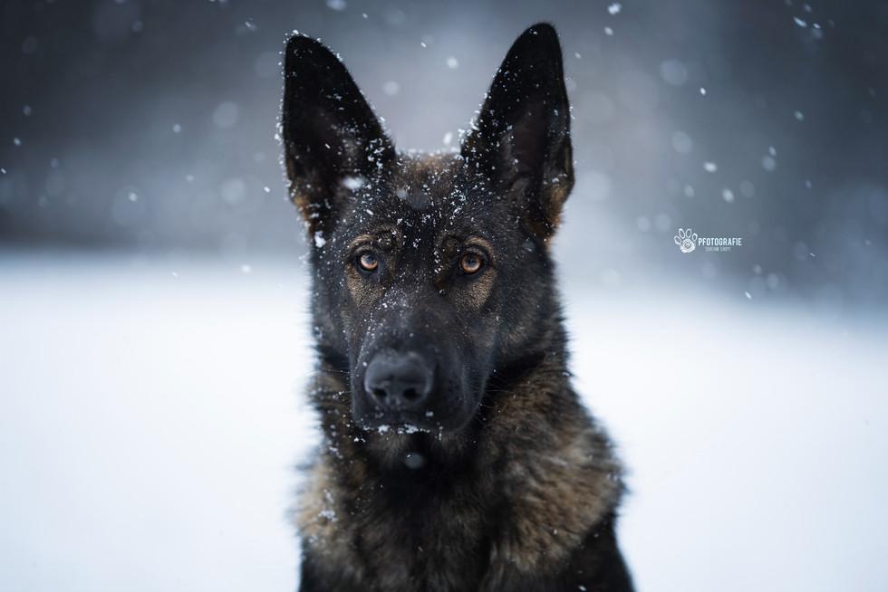 Schäferhund Fenja im Schneegestöber