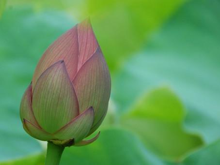あなたの心にある蓮の花