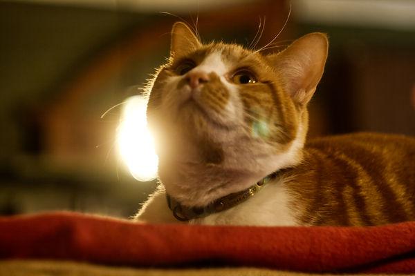 Close up of a ginger tabby cat called Tarot - © Rich Bond