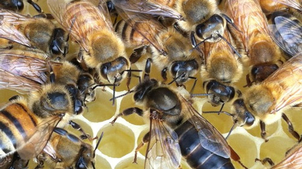 Queen Bee: Russian - Mated