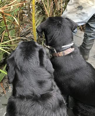 Training Retrievers for duck hunts