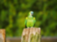 papagaio.png