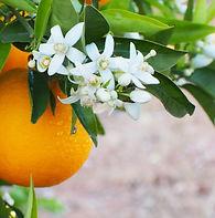 fleur oranger.jpg