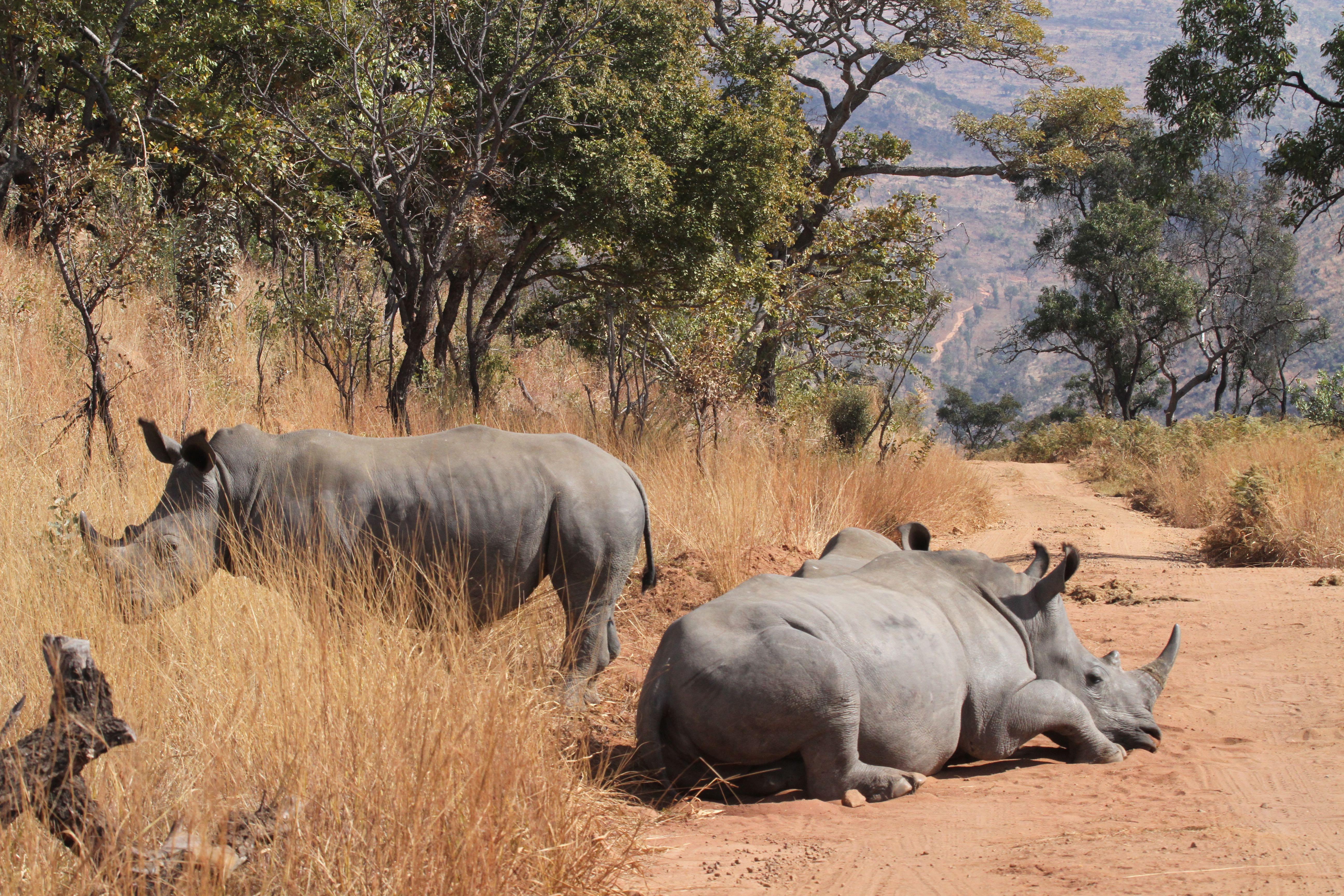 White Rhino basking in the sun