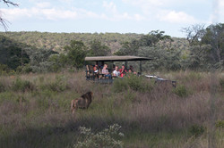 Viewing lion on game drive
