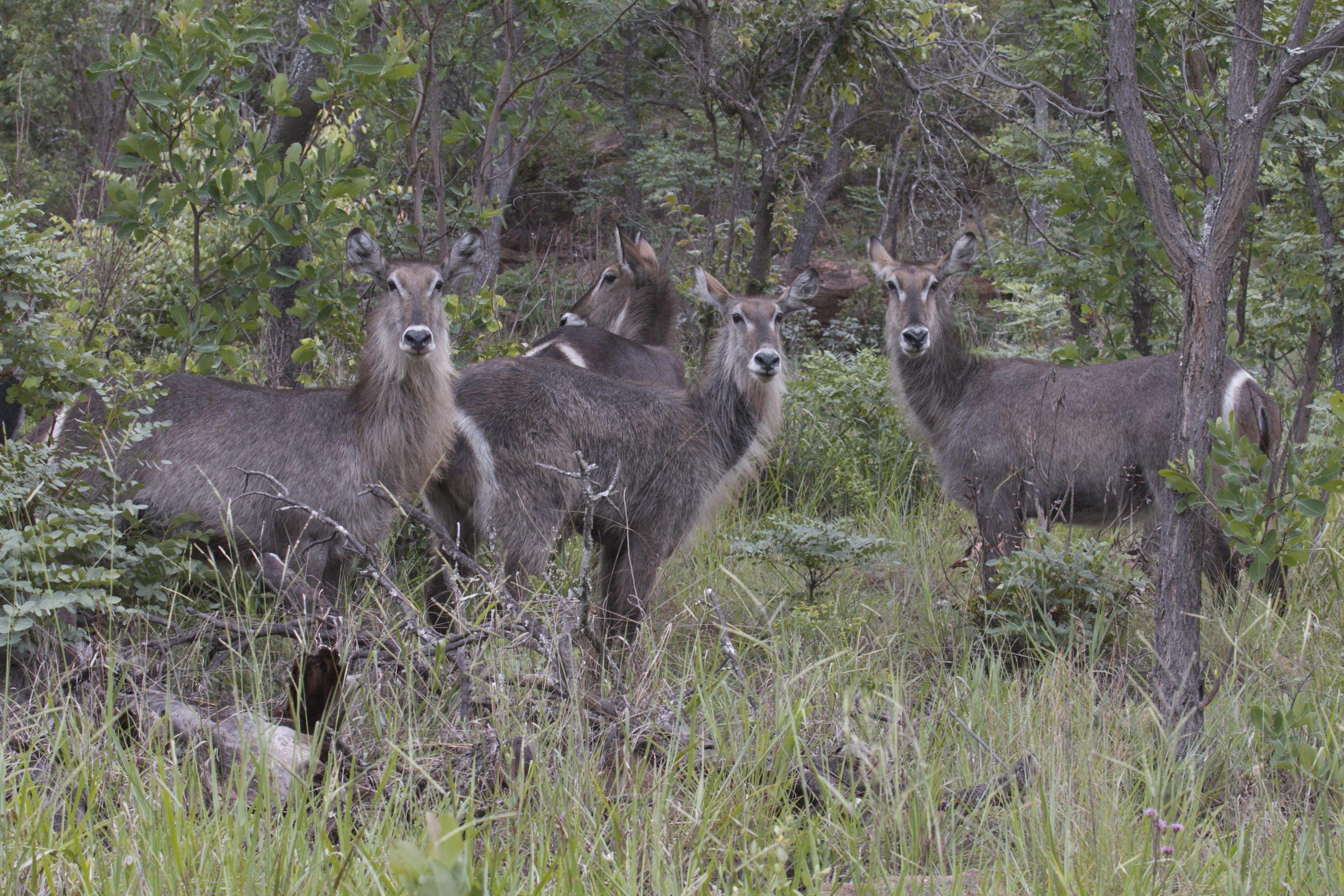 Herd of Waterbuck