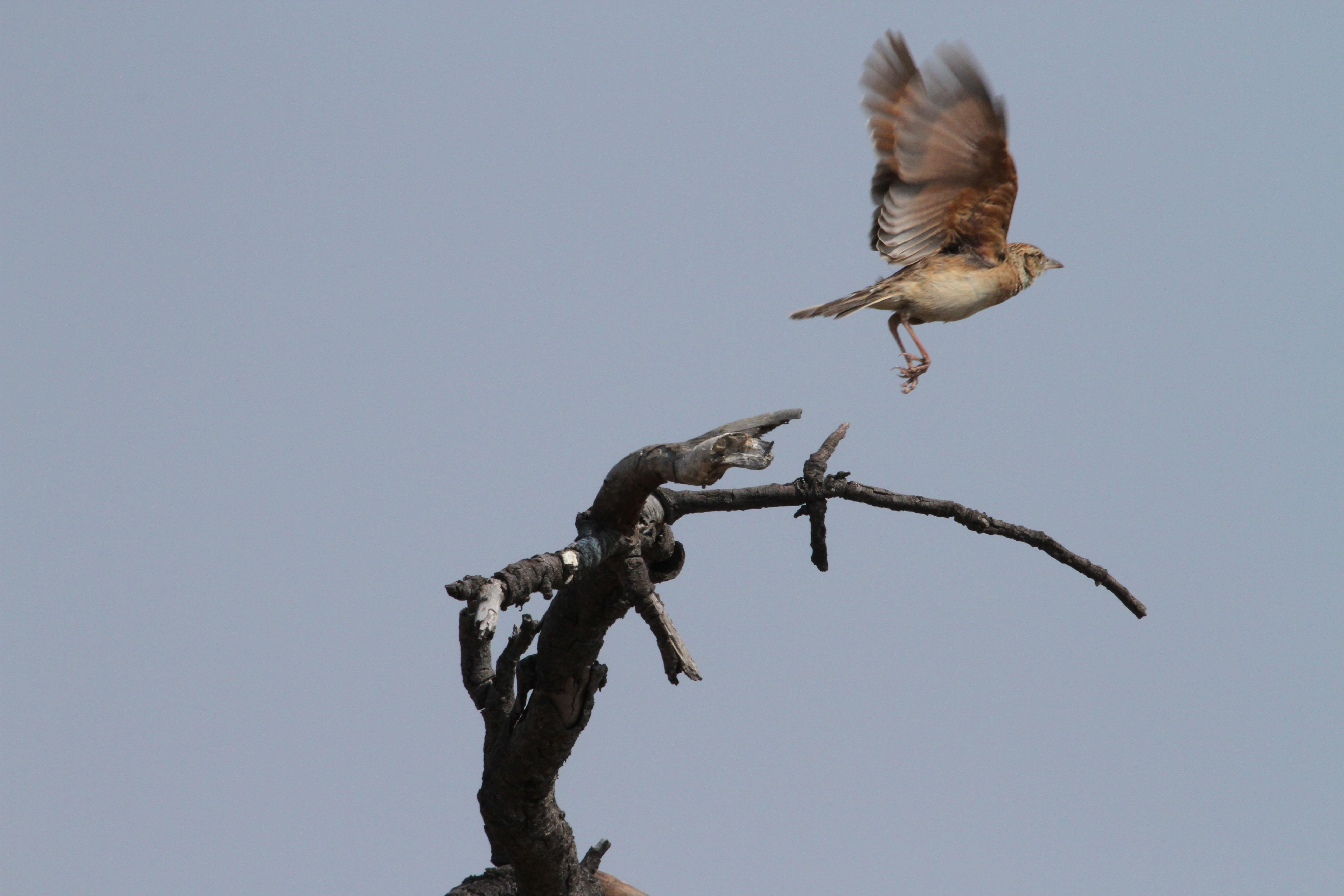 Rufous-naped Lark in flight