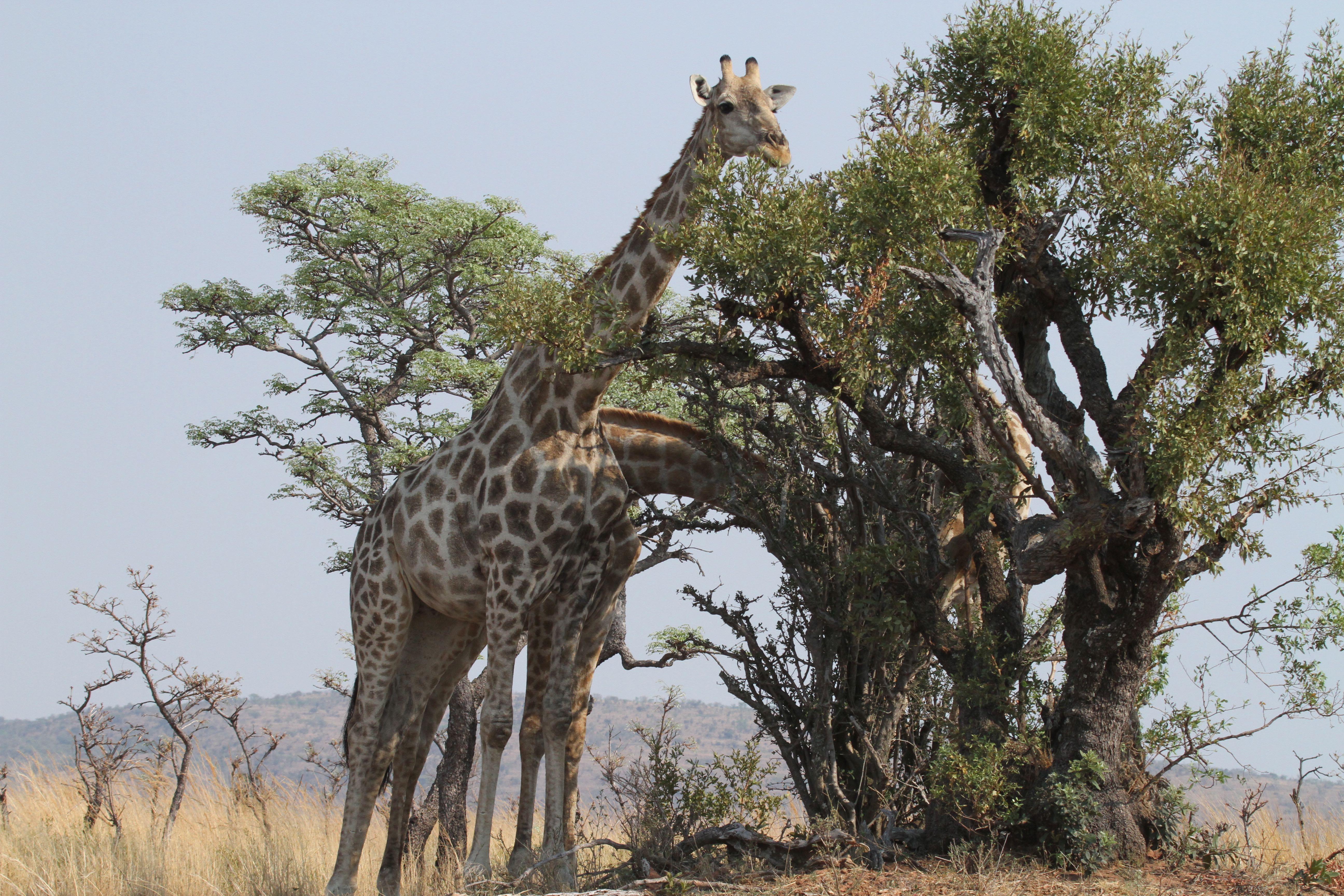 Giraffes enjoying lunch