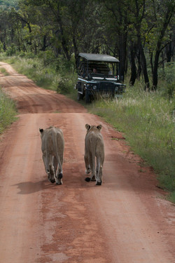 Lionesses meeting on road