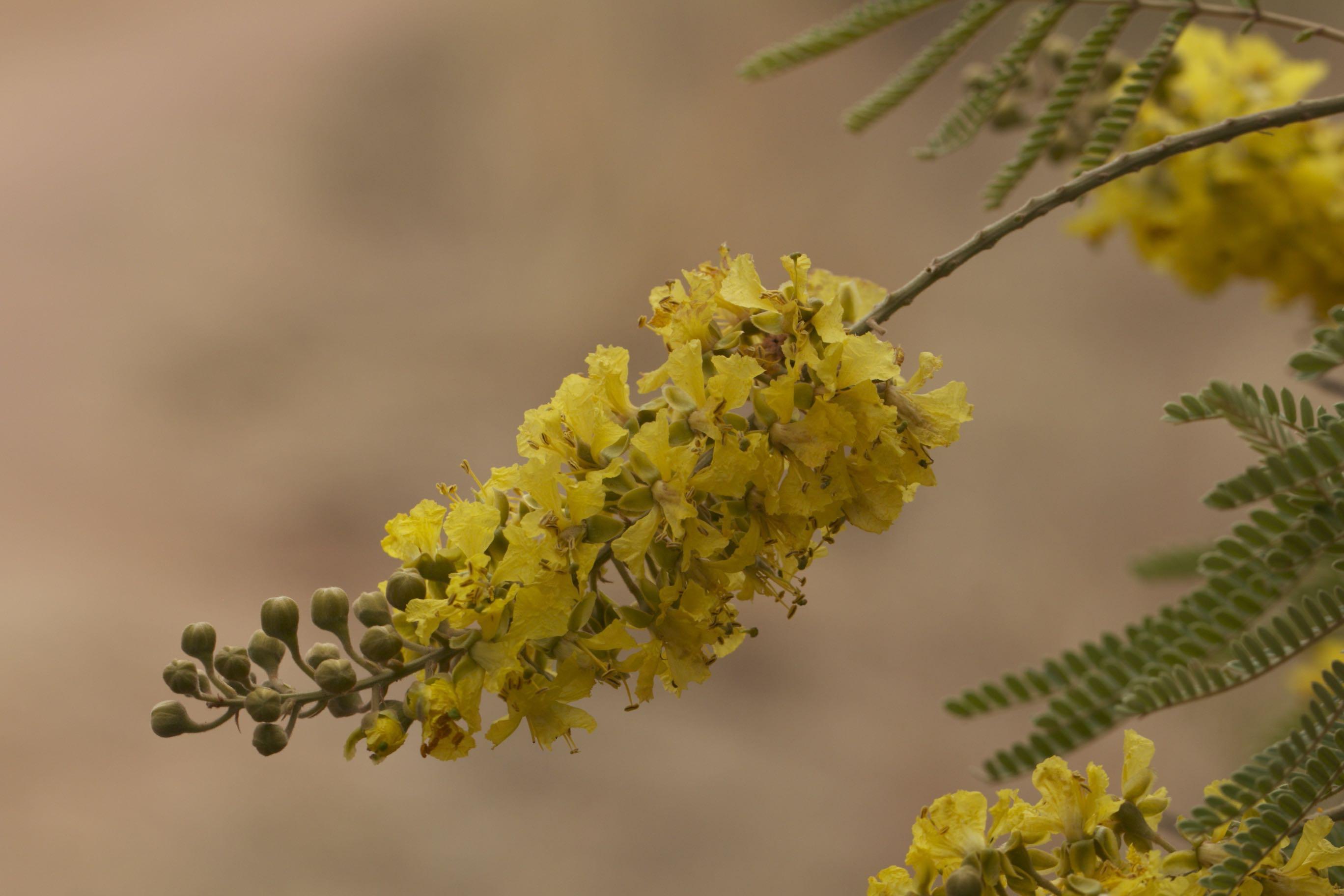 African Wattle flowers