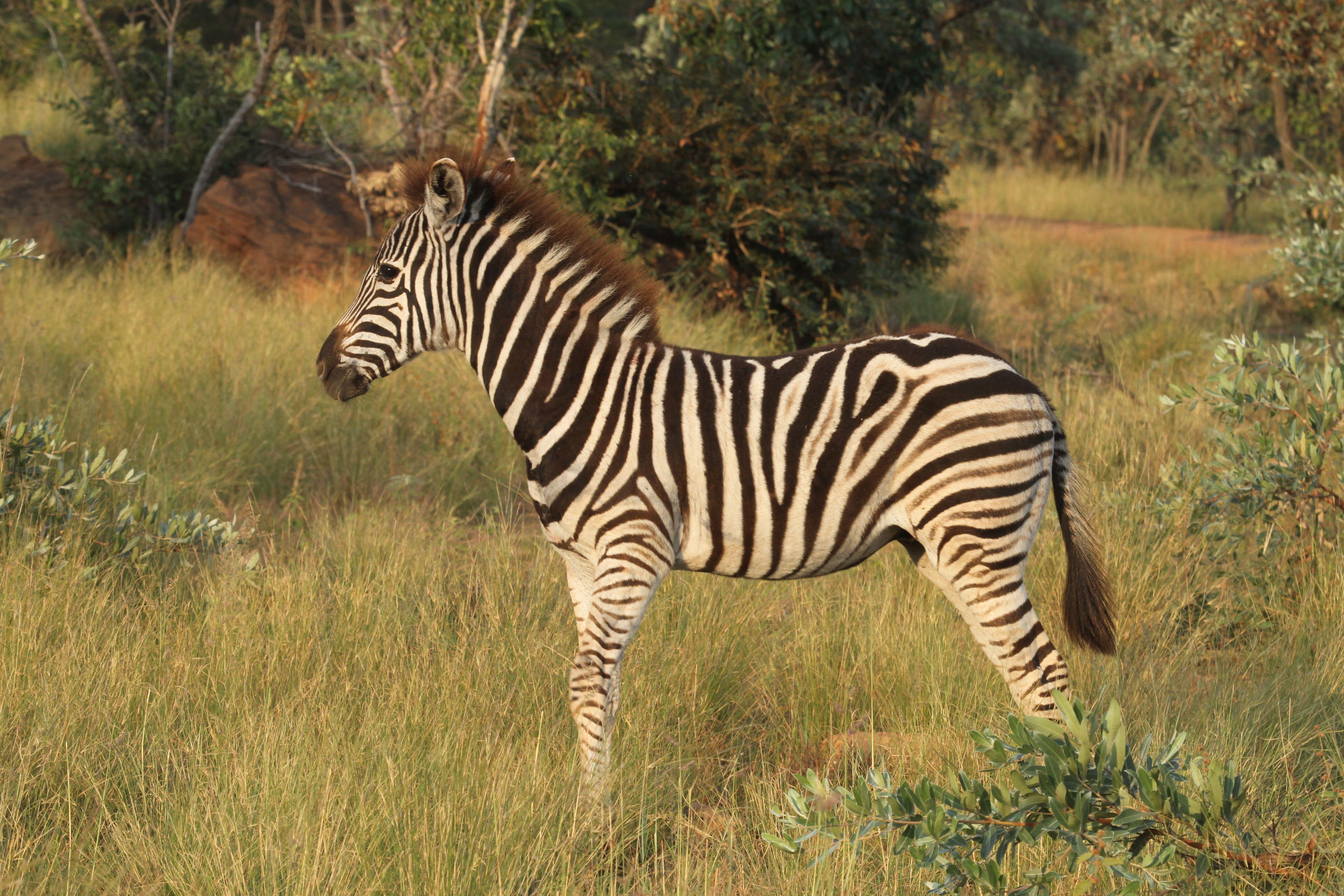 Zebra standing in grass