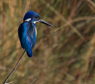 The shy blue Half-collared Kingfisher shows itself