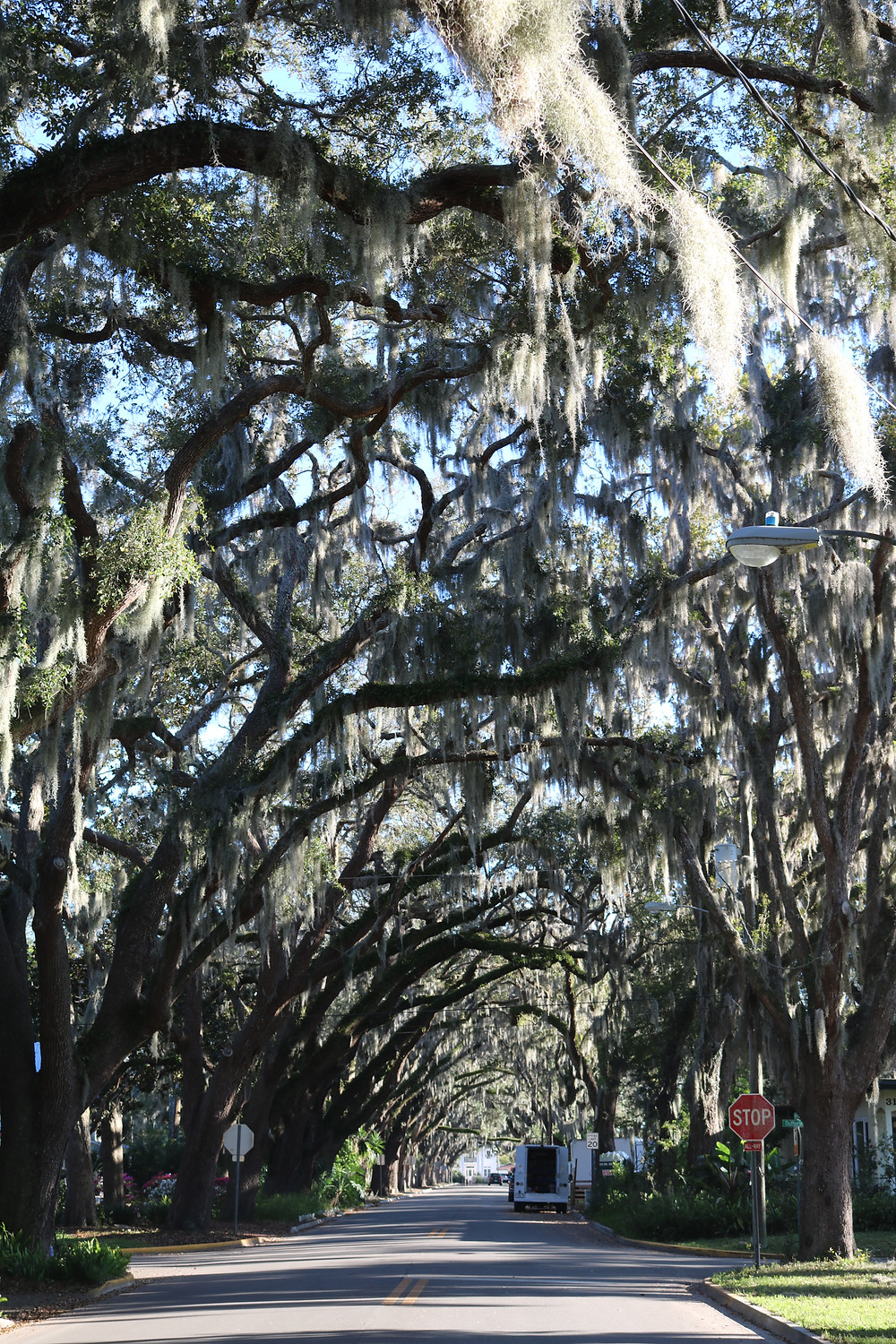 Oaks covered in Spanish moss