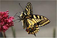 01 Swallowtail.jpg