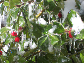 Iced Holly