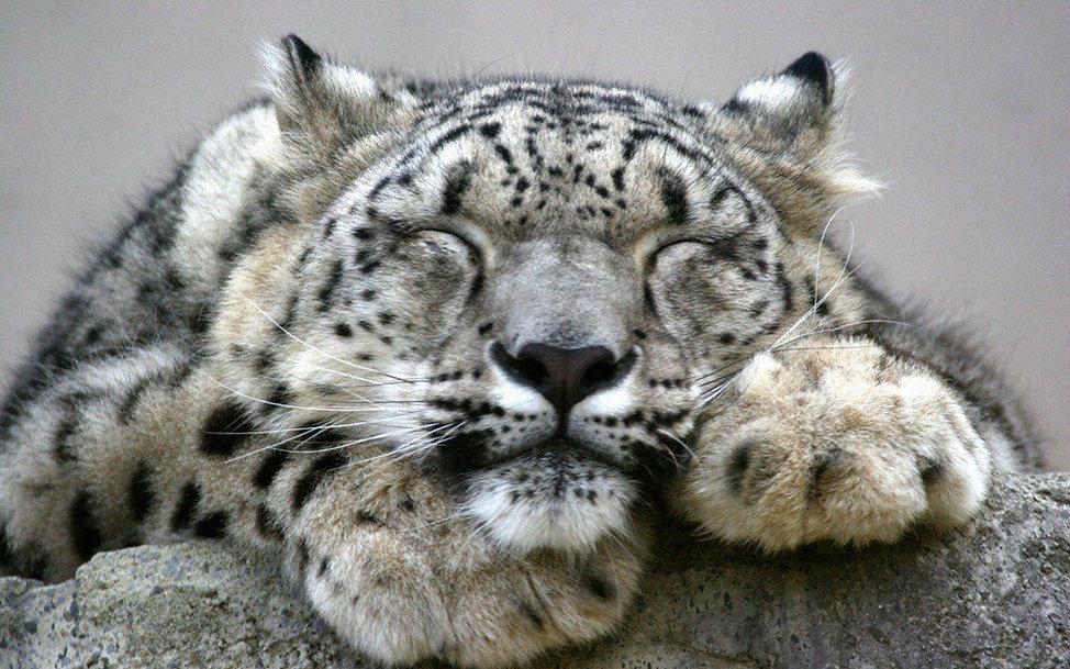Snow-Leopard-Wallpaper.jpg