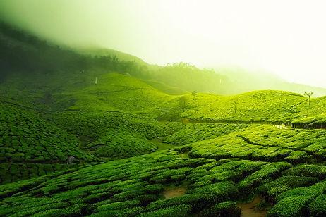 tea-plantation-2220475_1280.jpg