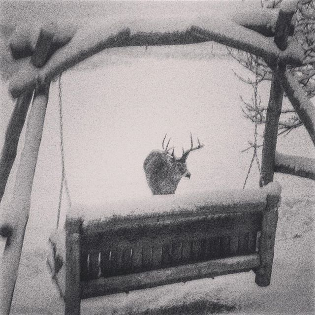 Whitetail hanging out by the swing this