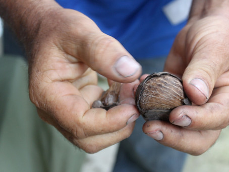 Tagua - an amazing nut!