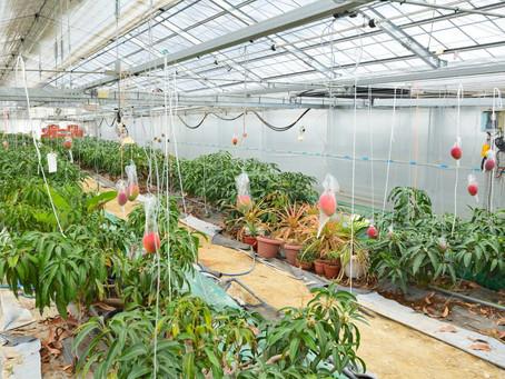 厳冬の十勝で実る完熟マンゴー 「白銀の太陽」が、大増産に動き出す。