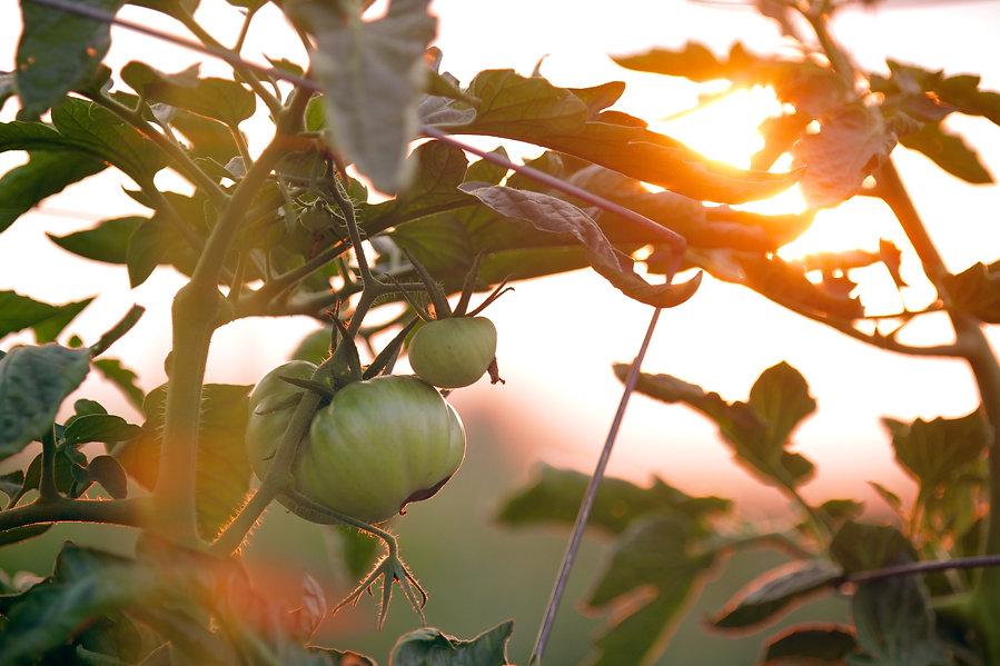 Tomater i solen.jpg