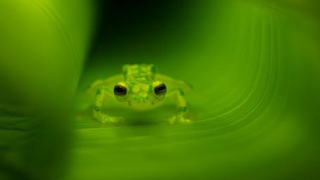 Paulo's Favorite Costa Rican Frog