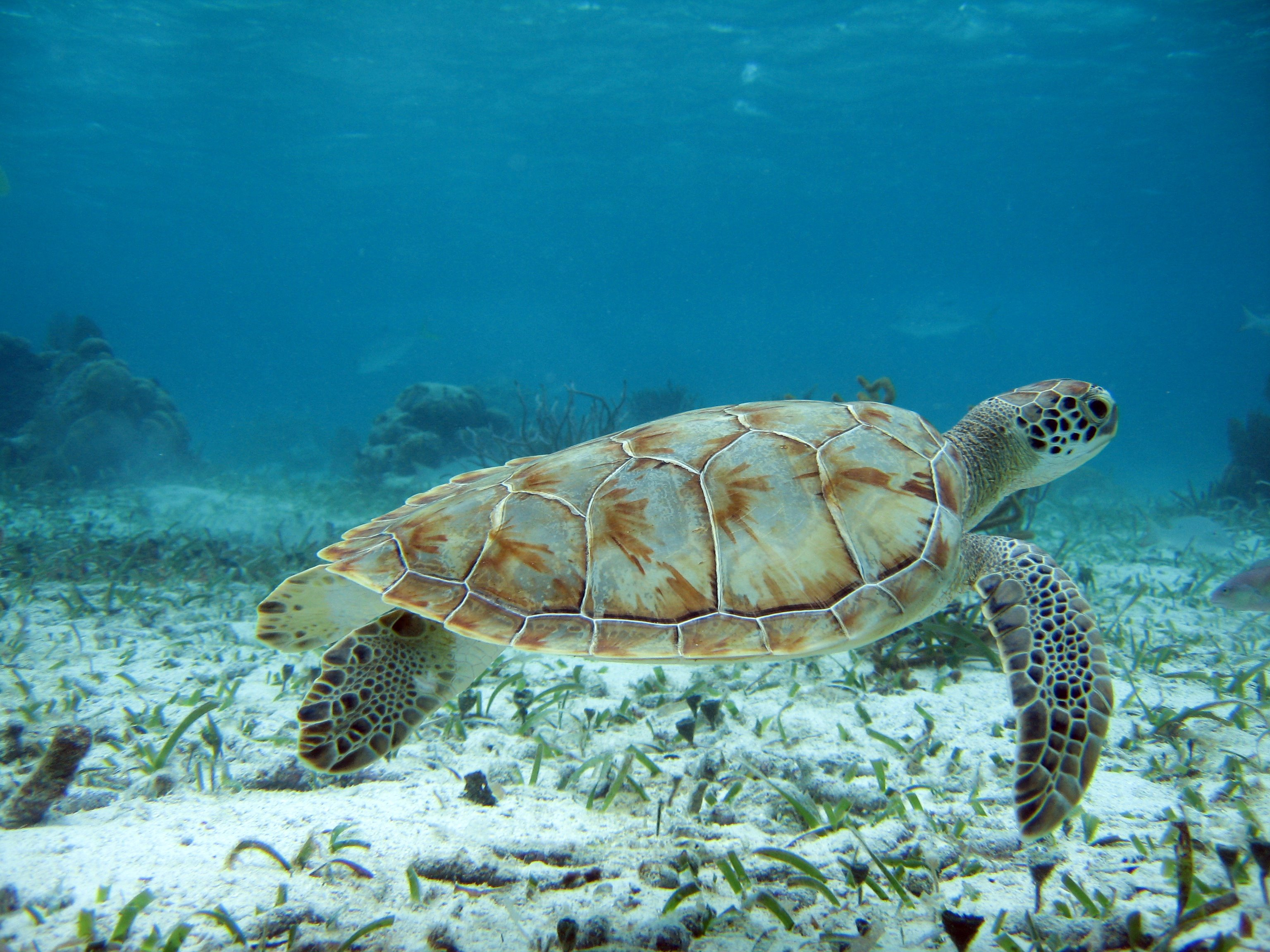 Turtle Sighting, Belize Barrier Reef