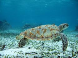 Turtle Sighting, Belize Barrier Reef