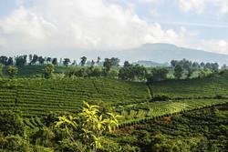 Coffee Plantations in Costa Rica