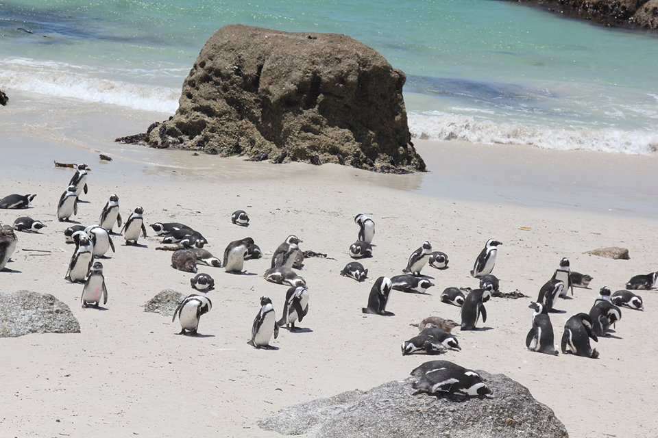 Boulders Beach Penguins, Cape Town