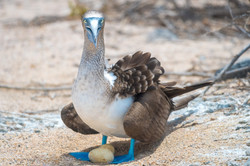 Blue-Footed Booby in Galapagos