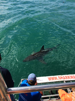 Great White Shark Diving, Cape Town